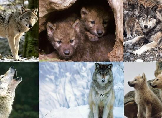 ViajesxelMundo ayuda a proteger al Lobo del Pirineo