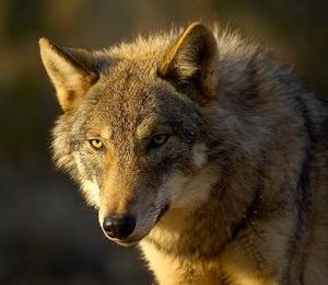 Lobo del Pirineo