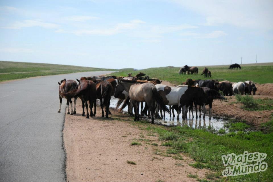 caballos mongolia 4